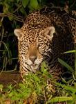 National Geographic Wild Phantom Cat
